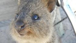 Conoce al quokka, el animal más feliz y adorable que existe.
