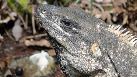Científicos hallan 'iguana caníbal' en Costa Rica.
