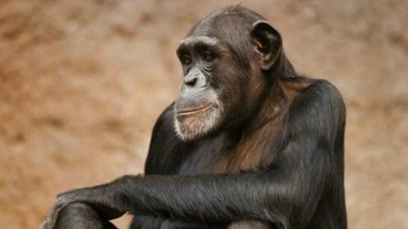 Los chimpancés en África consumen alcohol de forma voluntaria.