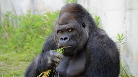 Un gorila con aires de galán, la nueva estrella de un zoo japonés.