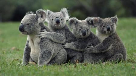 Koalas, pequeñas criaturas, llenas de curiosidades.
