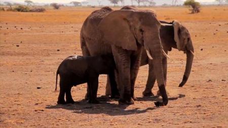 ADN de elefantes puede ayudar a combatir el comercio ilegal de marfil.