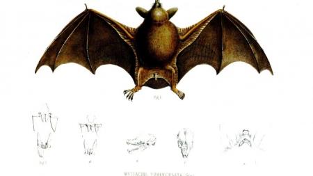 Descubren fósil de gran murciélago cuadrúpedo en Nueva Zelanda.