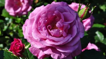 Rosas de Bulgaria que han sido secreto de perfumistas ahora son protegidas por UE.