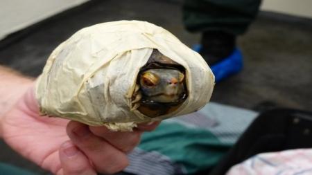 Incautación récord de tortugas en Madagascar en valija de turista.