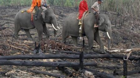 INDONESIA COMBATE INCENDIOS CON ELEFANTES