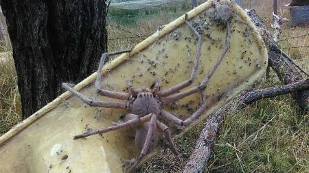 ARAÑA GIGANTE DE AUSTRALIA ATERRORIZA REDES
